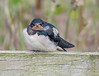 Young Barn Swallow (Hirundo rustica)