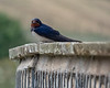 Adult Barn Swallow