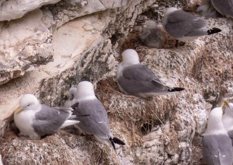 Kittiwakes (Rissa tridactyla) with young.