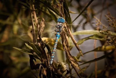 Dragonfly-Edit