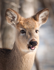White tail deer (Odocoileus virginianus)
