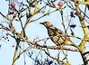 Song Thrush ( Turdus philomelos)