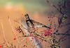 Fieldfare (Turdus pilaris)