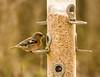 Male Chaffinch (Fringilla coelebs)