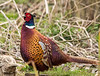 Male common Pheasant (Phasianus colchicus)