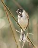 Reed Bunting ( Emberiza schoeniclus)