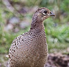 Female common Pheasant (Phasianus colchicus)