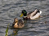 Pair of Mallards (Anas platyrhynchos)