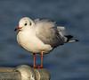 Winter plummage Black-headed gull.