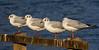 Winter plummage Black-headed gulls.