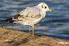 1st Winter plummage Black-headed gull.