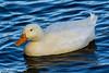 Farmyard duck.