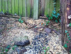 Eurasian Robin (Erithacus rubecula)