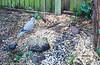 Eurasian Collared Dove (Streptopelia decaocto) and Starling (Sturnus vulgaris)