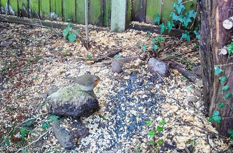 Robin ( Erithacus rubecula)