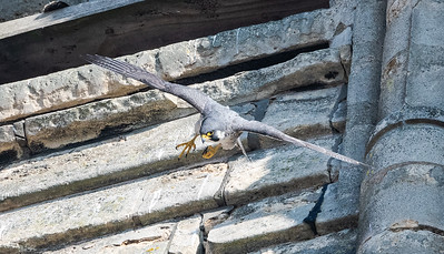 Lincoln Peregrines