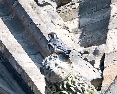 Male falcon sitting on a gargoyle