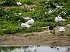 Mediterranean Gulls (Larus melanocephalus)