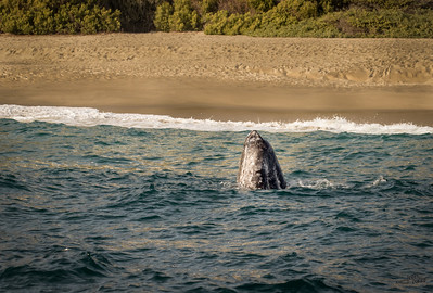 Gray Whale Calf Spyhopping