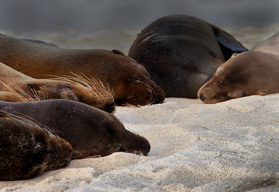 Sea Lions at Rest