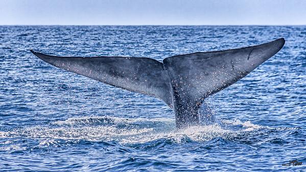 Blue Whale Flukes