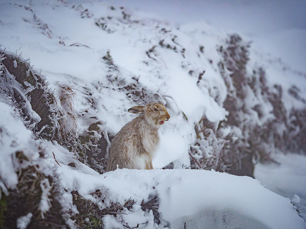 Mountain hare rest up during the day