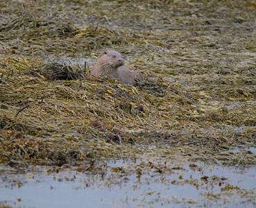 Otter - Loch Na Keal