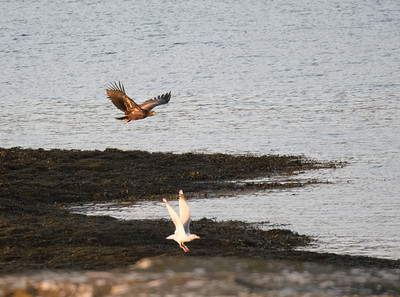 White Tailed Sea Eagle (and herring gull!)