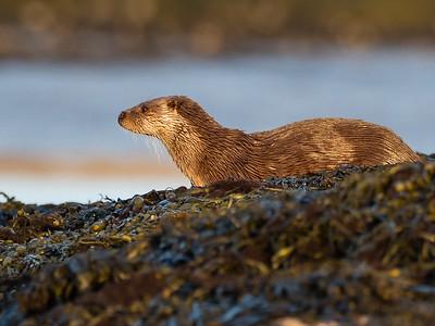 Long range otter in the evening sun