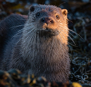 Otter at very close range (my fieldcraft is amazing!)