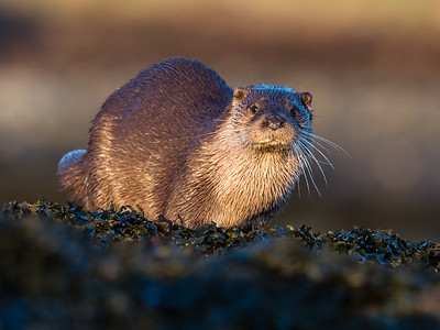Surprised otter just realising that he is within 2m of a human!