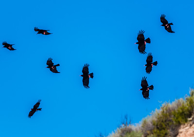 Red Billed Choughs