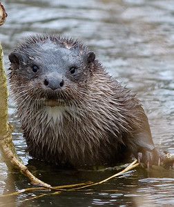 Otters on the river - secret location
