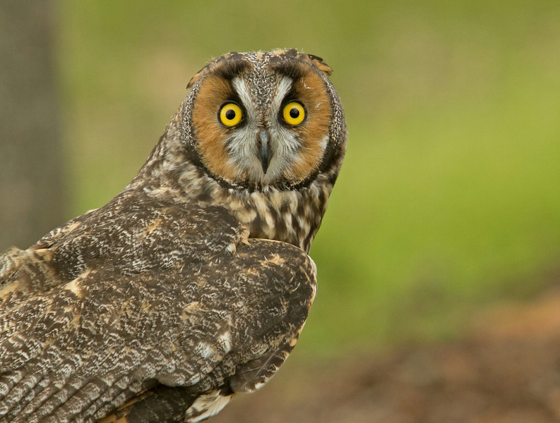 Long Earred Owl looking Surprised