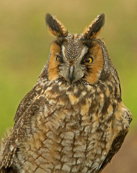 Long Earred Owl Profile