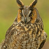 Long Earred Owl Profile