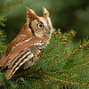 Little Red Eastern Screech Owl