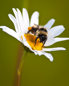 Bumble Bee with pollen sacks on daisy