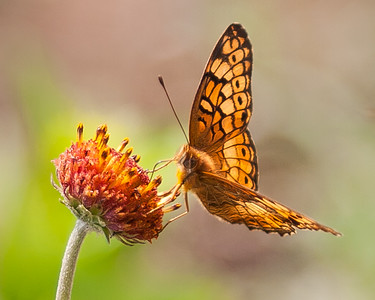 Great Spangled Fritillary Butterfly at Fort Sill Oklahoma