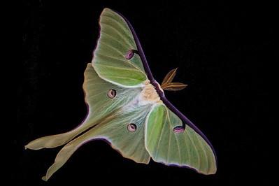 Actias luna, Luna Moth