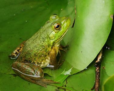 Bullfrog on a Leaf