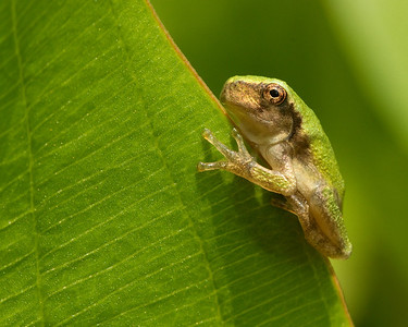 Green Tree Frog on a Leaf
