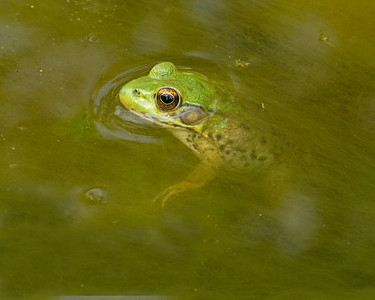 Little Frog with Head above water