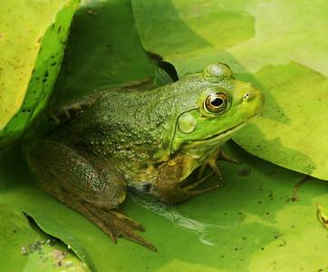 Bullfrog Profile
