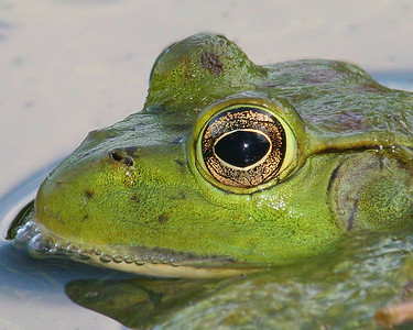 Eye of the Bullfrog