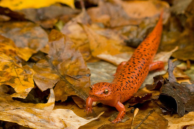 Salamander in the Leaves