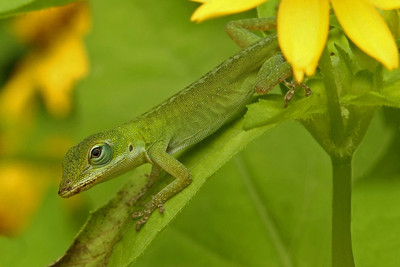 Green Anole on a Flower