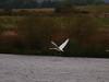 Whooper Swan in flight.