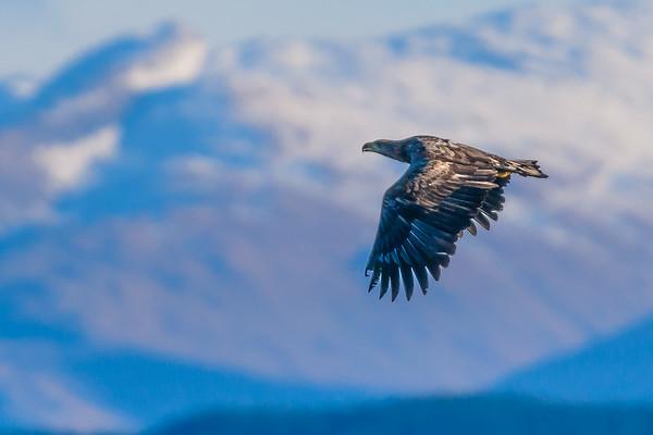Sea eagle over the Sound of Mull