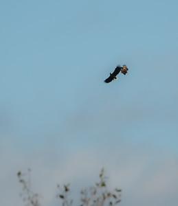 Sea eagles talon clasping
